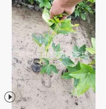 熊掌木 苗木 批发 量多 萧山 园林 市政绿化 工程苗 精品成活高