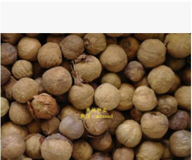 缅甸金丝柚木种子柚木种子当年新采质量