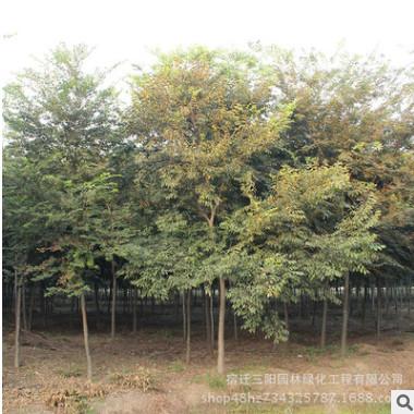 基地批发榉树 榉树小苗 红榉树 各种规格齐全 工程绿化行道专用