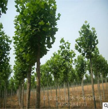 杨树苗基地批发 规格齐全 易成活 绿化苗木工程用