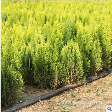 基地批发洒金柏 洒金柏小苗 洒金柏球 色块灌丛绿化苗木品种全