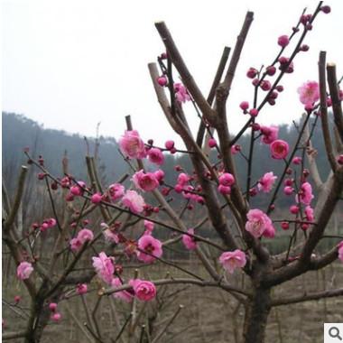 红梅 绿梅 珍珠梅 榆叶梅 碧桃 原生红梅树苗 造型盆景 嫁接苗