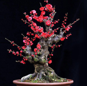 红梅花老桩盆景 中小型观花红梅树苗树桩 乌梅绿梅室内盆栽绿植