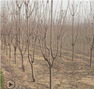 厂家直销樱桃树占地樱桃树绿化樱桃树工程樱桃树