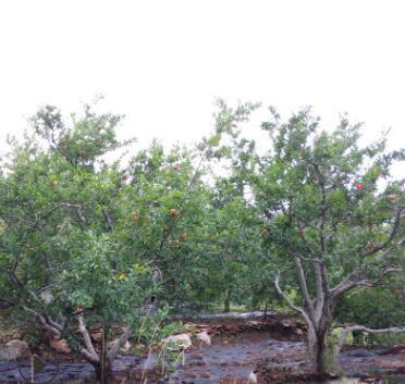 厂家直销果树古树石榴树绿化石榴树丛生石榴树造型优美定干石榴树