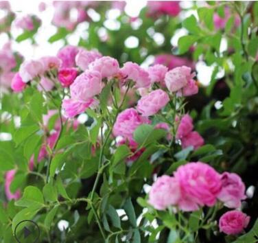 厂家直销蔷薇花苗爬藤蔷薇花庭院植物多色蔷薇花树苗黄色红色粉色