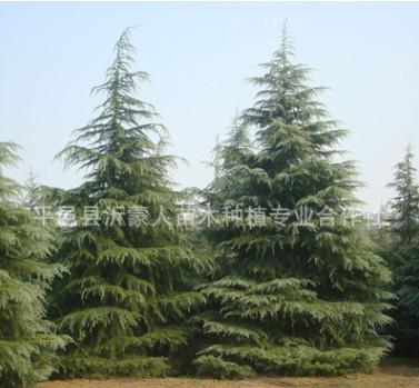 批发 雪松 雪松树 雪松树苗 绿化工程苗木规格齐全 量大优惠