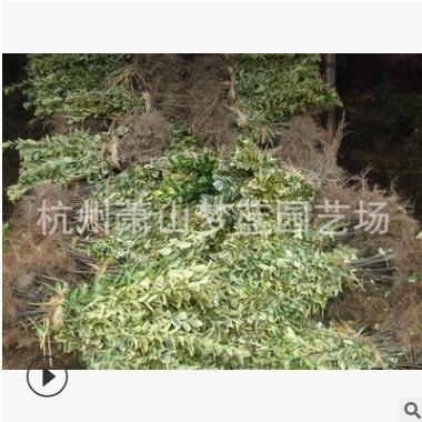 金边黄杨 根系旺 成活率高 精品苗 市政 园林 工程 绿化 用苗