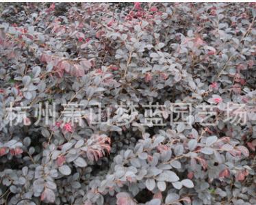 杭州 萧山 优质 红花继木 金叶女贞 绿化树木 园林 地被 色块量多
