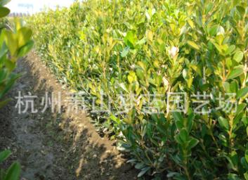 优质瓜子黄杨 大叶黄杨 品种 规格 齐全 绿化 工程 灌木 乔木 苗