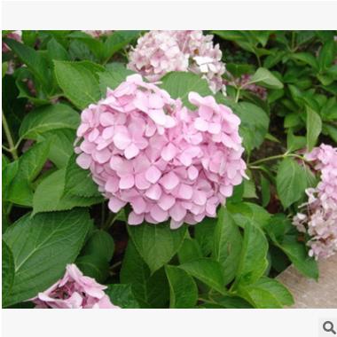 八仙花 品种 规格 齐全 园林 地被 工程 绿化 苗木 萧山 苗圃直销