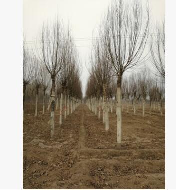河北馒头柳供应商 大量优质馒头柳基地 超低价出售保定馒头柳苗圃