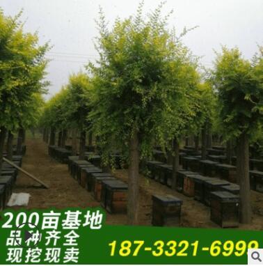 金叶榆苗圃直发 景观生态高接金叶榆