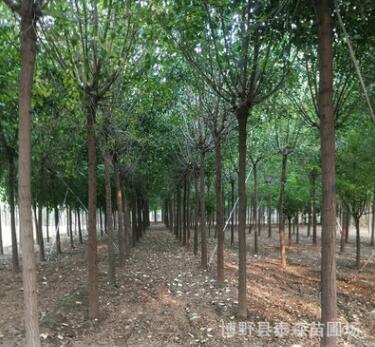 基地现挖现卖地栽丝棉木树苗 景观绿化规格齐全丝棉木乔木