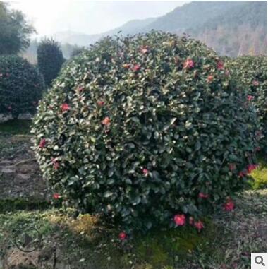 茶梅球茶梅花耐寒植物茶梅树苗梅华苗 盆景盆栽基地直销
