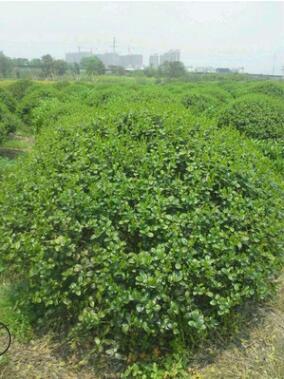 构骨球 无刺枸骨基地批发 规格齐全 批发各种球类绿植