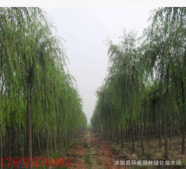垂柳树苗 园林绿化速生柳树苗 规格齐全