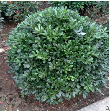 海桐球 海桐苗 园林绿化树苗