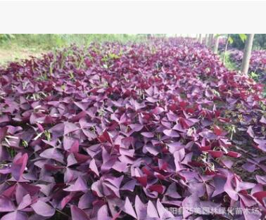喜阳紫叶酢浆草炸酱草 紫蝴蝶三叶草种球室内花卉