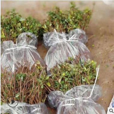 金银花新品种北花一号求购金银花苗厂家批发树形四季金银花苗价格