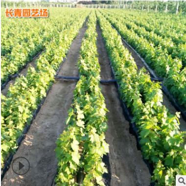 批发甜蜜蓝宝石葡萄苗 自根葡萄树苗南方北方种植 现货批发
