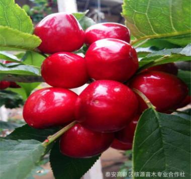 果树苗木繁育基地出售各种规格的大樱桃树苗 辽宁大连樱桃树苗