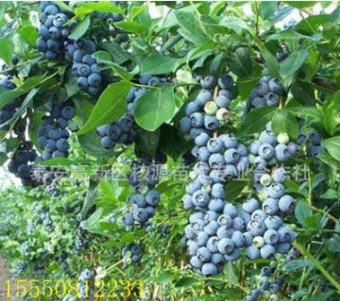 名贵蓝莓树苗,北方蓝莓树苗