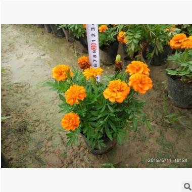 孔雀草 时花 品种多样 中山深圳广州苗木基地批发
