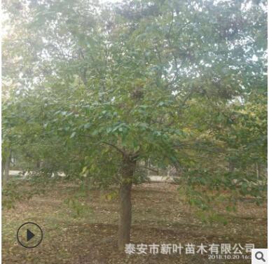 大规格优质暴马丁香树 树干直树形好暴马丁香树