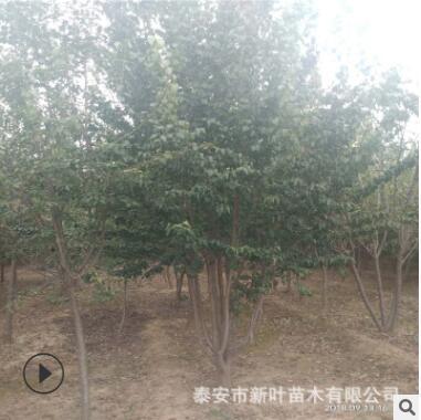 现挖现卖3-5-8年生丛生暴马丁香多少钱一棵 树形好丛生暴马丁香
