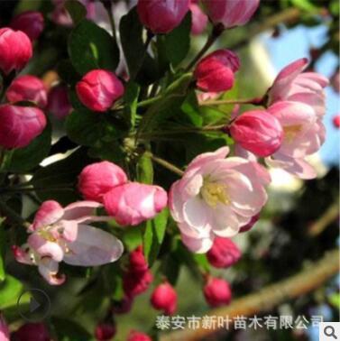 西府海棠 工程园林绿化易成活西府海棠树