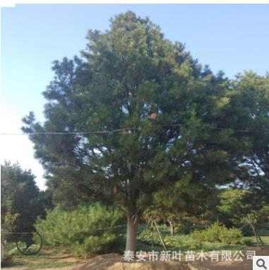 山东基地直销优质白皮松树苗 四季常青规格全量大从优白皮松树苗