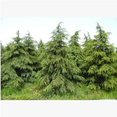 雪松 造型 精品 优质苗 树木 城市行道树 园林 绿化 工程 苗圃