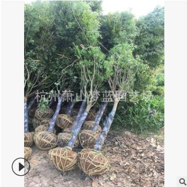 鸡爪槭 土球好 冠幅好 花灌木 地被 球类 色块类 草花类 乔木