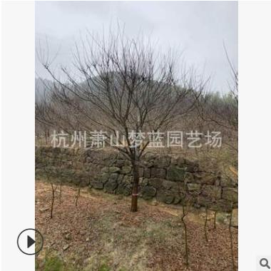 优质 红枫 羽毛枫 品种 规格 齐全 园林 绿化 道路工程 萧山苗圃