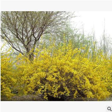 迎春 土球好 冠幅好 花灌木 地被 球类 色块类 草花类 乔木 绿化
