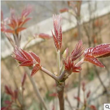 基地直销香椿苗红 油香椿苗 1-3公分大棚矮化香椿树苗批发