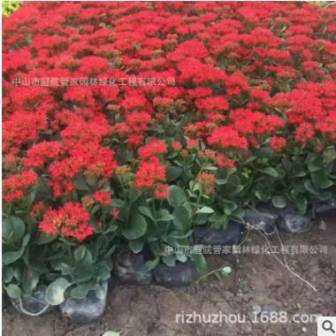 多肉盆栽红花长寿花 花卉基地批发