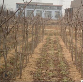 园林绿化苗木黄栌树苗 工程绿化专用黄栌树苗 可盆栽