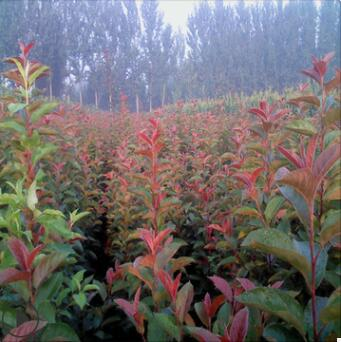 基地批发日本红花海棠苗 长寿冠盆景庭院海棠树 可现场挖苗