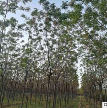 苦楝 苦楝树 绿化树 绿化乔木 大型绿化树 易成活好栽培