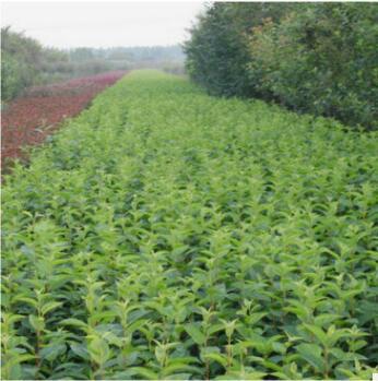 临沂厂家供应海棠绿化苗 园林绿化海棠苗批发 园林观赏冬红海棠