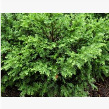 红豆杉 园林 树木 花灌木 地被 球类 色块类 草花类 乔木工程绿化