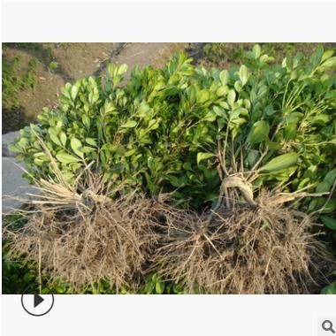 海桐 色块 毛球类 冠幅好 土球好 精品 优质 成活率高 萧山 苗圃