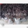 红花继木 品种 规格 齐全 成活率 高 精品苗 萧山 园林 绿化 工程