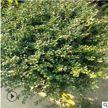 龟甲冬青球 精品苗 成活率 高 萧山 灌木 批发 基地 园林 绿化