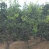 山西地区供应山楂树