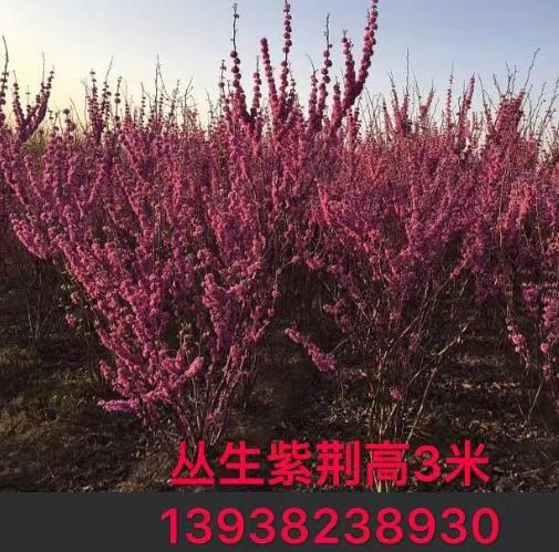 大小规格丛生紫荆 基地