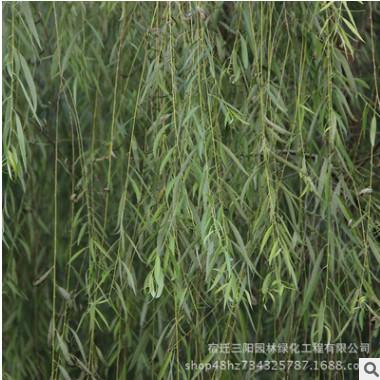 出售垂柳 青皮垂柳 竹柳 黄皮垂柳 金丝垂柳树苗 品种全