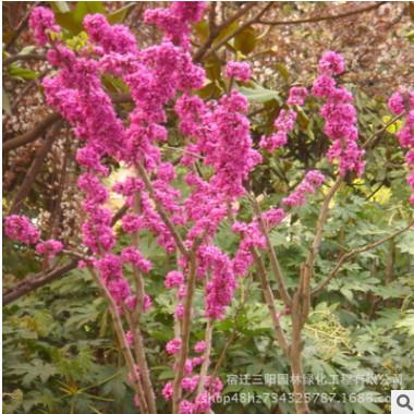 大量出售紫荆苗 基地低价供应优质花卉苗木 紫荆树苗庭院绿化苗